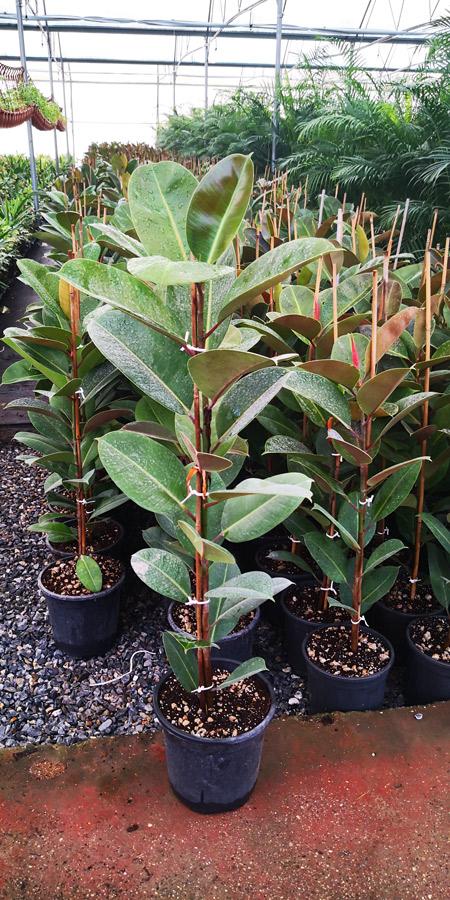 Ficus Elastica KAC S 01002P21 1 - Kauçuk
