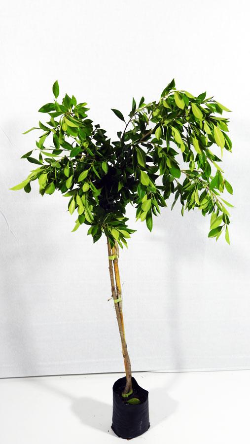 Ficus nitida FIC S 01007 - فيكس خارجي