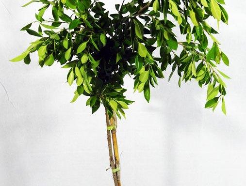 Ficus nitida FIC S 01007 - السنط الملتوي