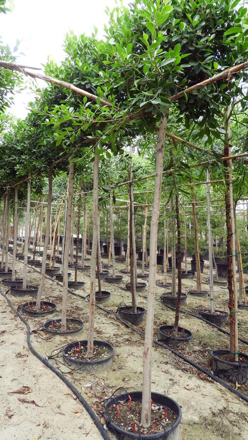 Ficus nitida FIC S 06008 P36 1 - Ficus panda