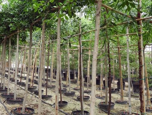 Ficus nitida FIC S 06008 P36 1 - All Trees