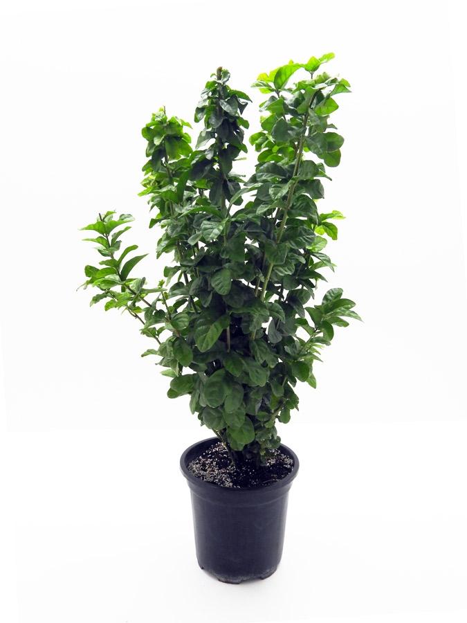 Jasminum-sambac