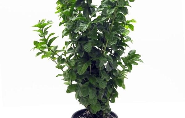 Jasminum sambac FUL S 06007 P26 1280x960 - يوكا