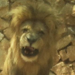 male lion big cat big roaring smile