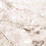 オールドレンズ越しの桜の世界