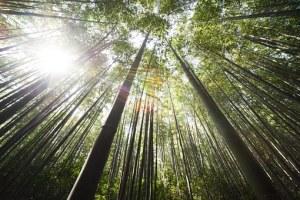 bamboo-364112__340