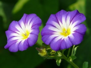 sky-blue-morning-glory-8793__340