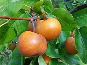 asian-pear-936916__340