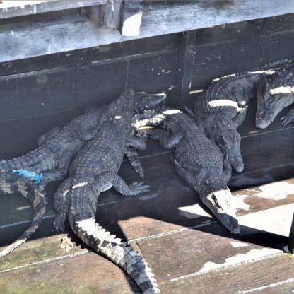 Siamese crocodiles in a farm on a platform floating on Tonlé Sap in Cambodia