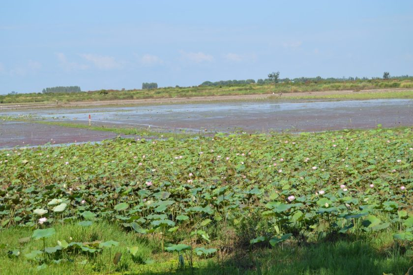 A lotus flower farm in Cambodia