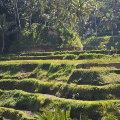 Rice Terraces in Tegallalang near Ubud in Bali, Indonesia