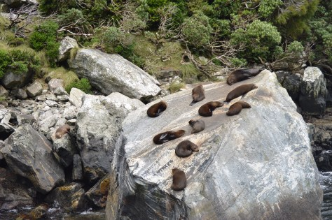 Fur seals basking in the sun on Seal Rock in Milford Sound, New Zealand