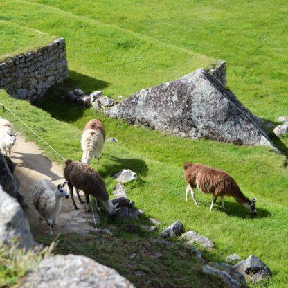 Llamas grazing in Machu Picchu, Peru