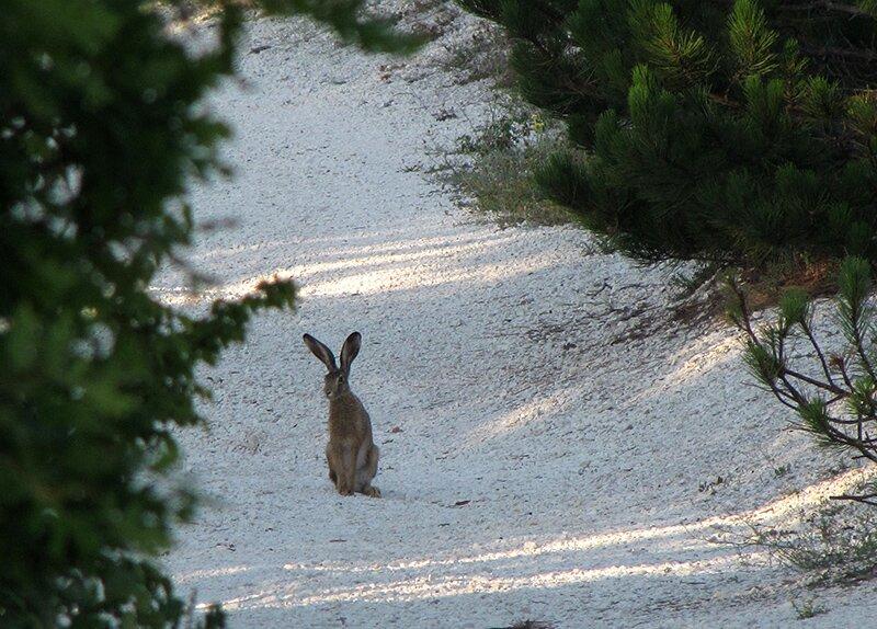 Задумчивый заяц. Крым