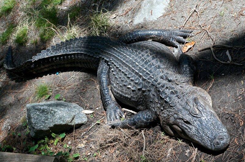 Аллигатор на отдыхе