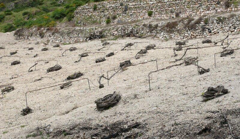 Виноградник острова Санторини