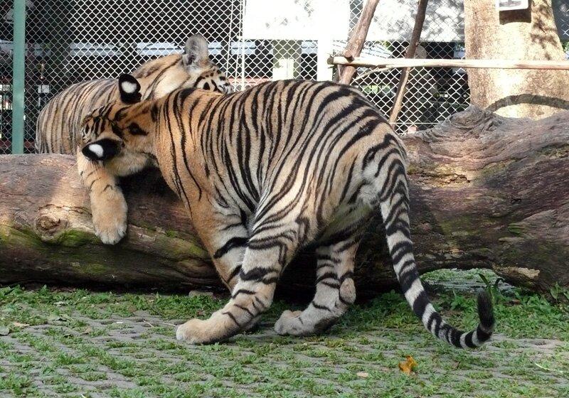 Возьня тигрят, Тигриное королевство. Пхукет