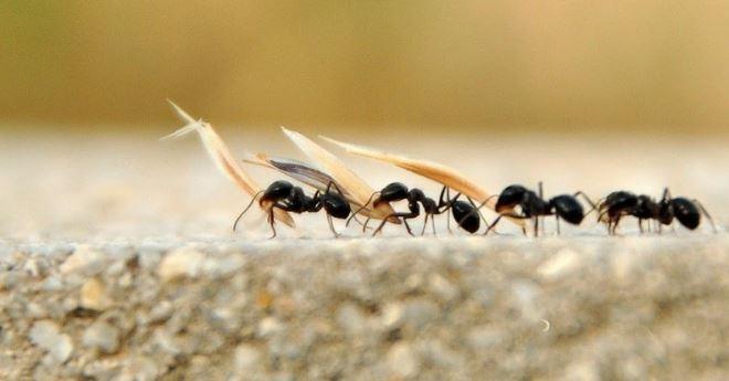Karınca Uzaklaştırma Yöntemleri
