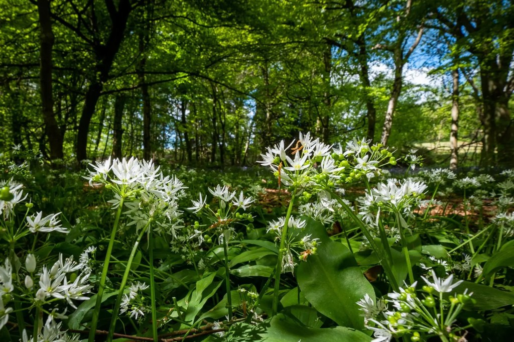 Wild garlic. Finchampstead Ridges, Berkshire, UK.