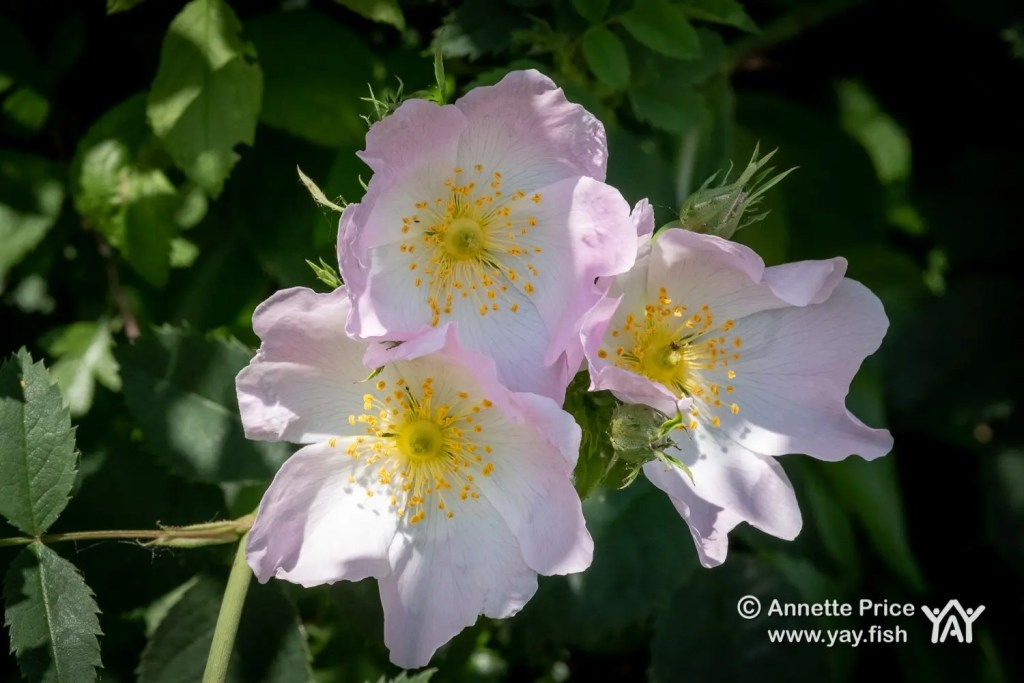 Wild roses. Greywell, Hampshire, UK.