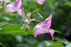 The Himalayan Balsam | Environment | Under Attack