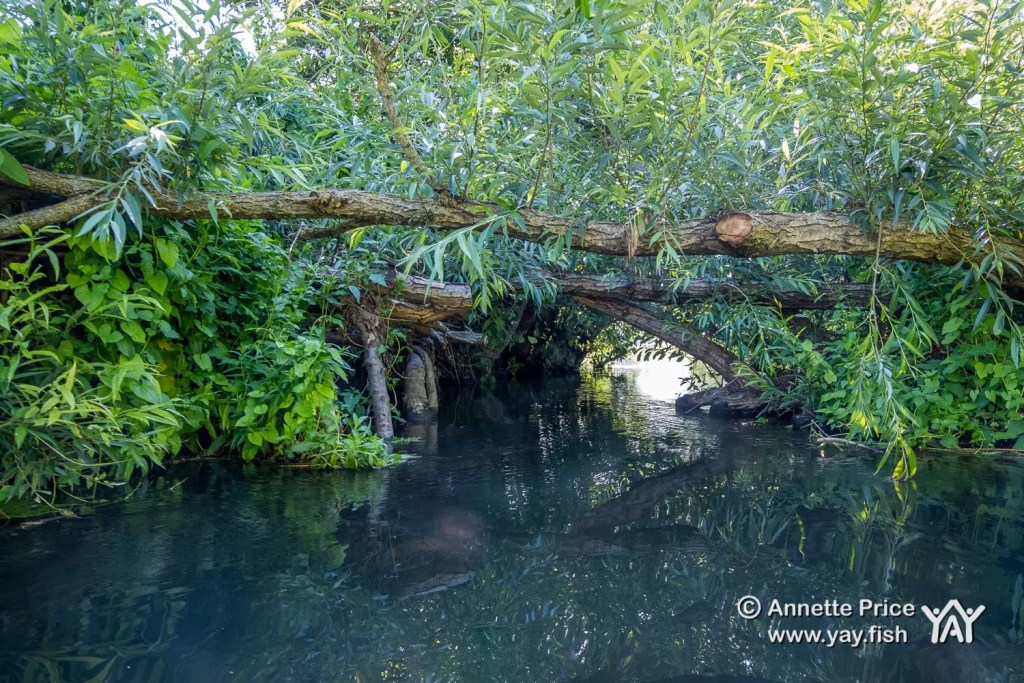 A fallen tree creating a low gap to paddle under. St Patrick's Stream, near Shiplake, UK.