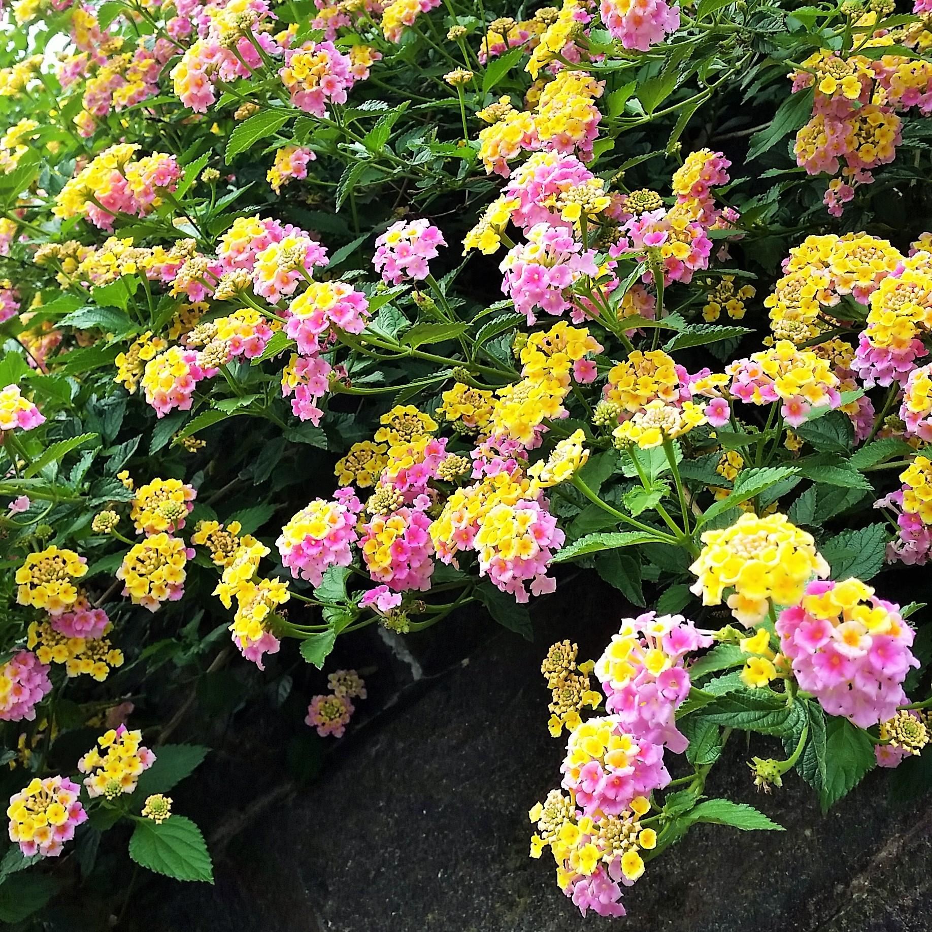 道端で見つけた鮮やかなピンクと黄色い花