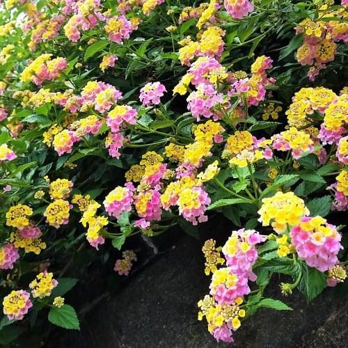 散歩道の石垣に咲いていた花