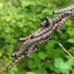 オオトビモンシャチホコの幼虫