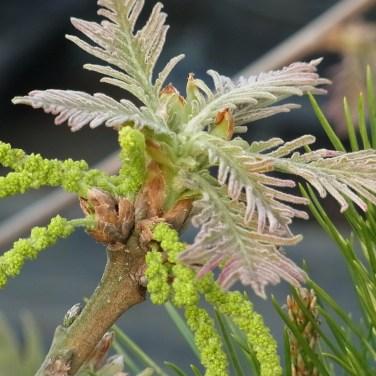 ハゴロモガシワの花