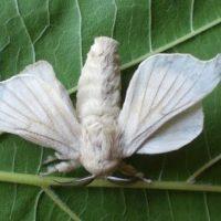 gusanos-de-seda_mariposa