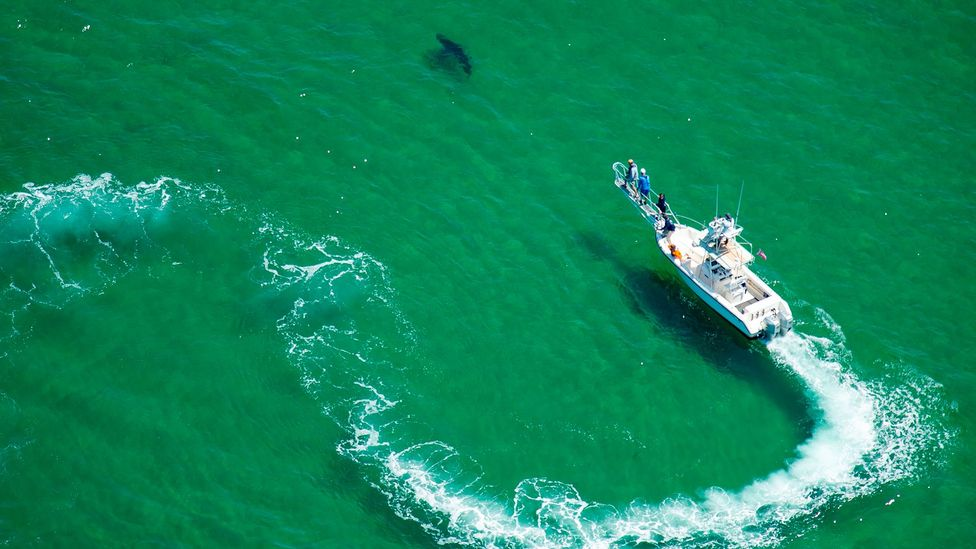 Efforts to tag great white sharks is starting to provide insights into the behaviour and life cycles of these enormous predators (Credit: Getty Images)