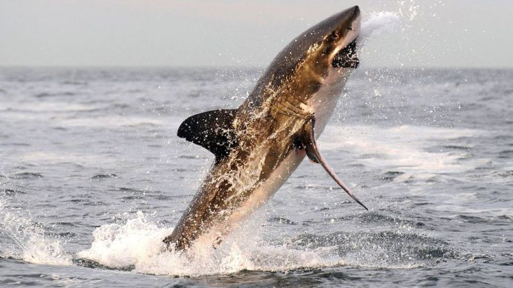 Great white sharks typically attack their prey from below with great speed, delivering a single devastating bite (Credit: Getty Images)