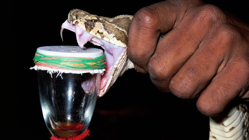 """Snakes are """"milked"""" for venom in order to produce antivenom, but often these vital antidotes are in short supply in many parts of the world (Credit: Minden Pictuers/Alamy)"""