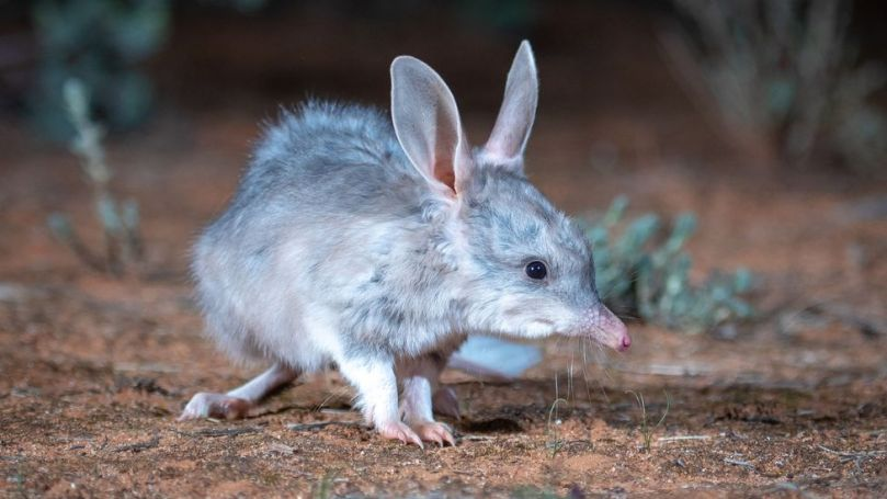 """One of the nation's best-loved marsupials, the bilby is known as """"Australia's Easter Bunny"""" (Credit: Australian Wildlife Conservancy)"""