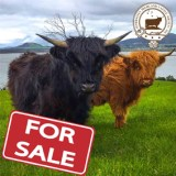 Scottish Highland Bull for Sale