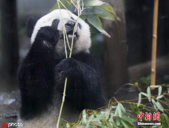 """Giant panda """"xiangxiang"""" will stay for another 5 months. Japanese netizens cheered and cheered."""