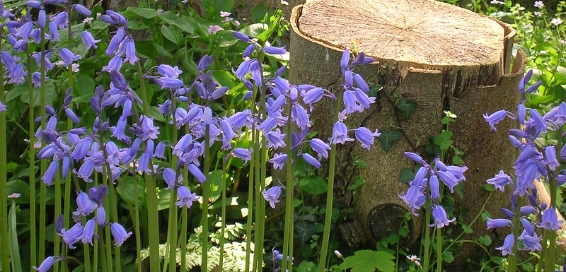 Bluebells in front of a tree stump