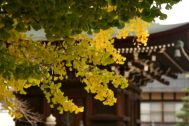 Autumn leaves at the temple