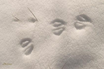 2015-2-22_FFSP_snow-deer-tracks-1-4