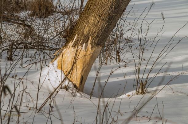 2015-2-22_FFSP_snow-deer-tracks-1-9