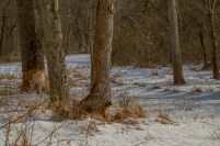 2015-2-22_FFSP_snow-trees--fresh-beaver-marks-wideview