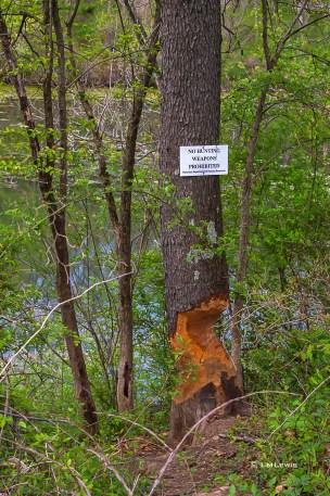 Apr-30_beaver-handiwork-1