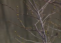 5apr2015_branches-buds-1
