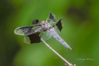 Common Whitetail (Dragonfly)