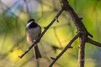 Chickadee, Carolina