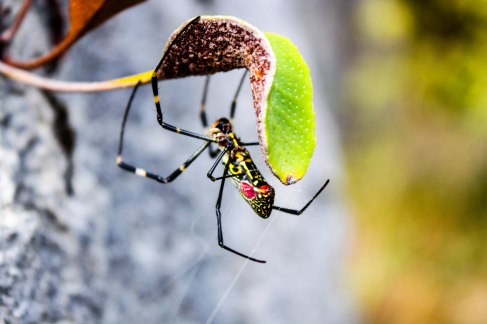 golden-orb-weaver-post-edit