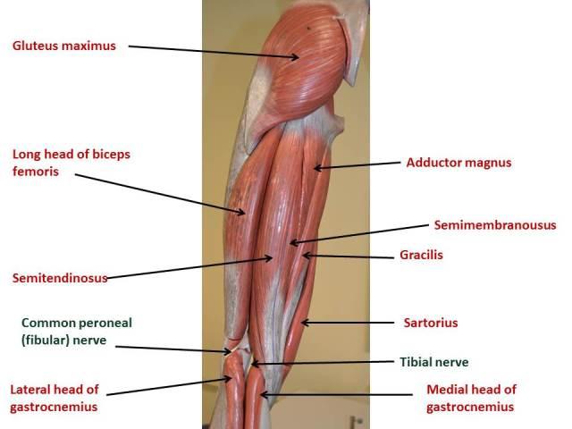 Thigh & Popliteal Fossa