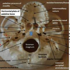 Diagram Of Skull Superior View Anatomy State For Atm Machine Neurocranium | Yedİtepe Lab