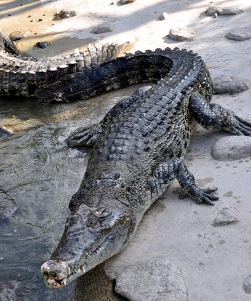 Beppu-Crocodile